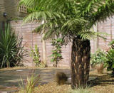 Modern UK gardens featuring inspiring plants such as tree ferns, cordylines and palm trees. Beautiful garden creations in Kent and London.